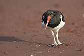 American oystercatcher on the red sand