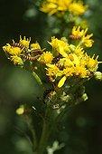 Caterpillars of Cinnabar moths in summer France