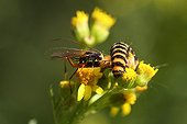 Wasp laying a track for the Scale Tansy