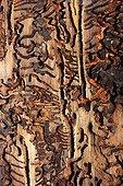European Spruce Bark Beetle galleries in wood Poland