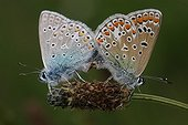 Coupling blue Argus France