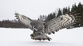 Great Grey Owl about to land Tornio Finland