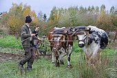 Labour to the old yoke with Vosges oxen Alsace France