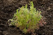 Young plant of Dill in a vegetable garden France