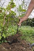 Gardener removing young shoot from raspberry bush