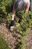 Dead leaf mulch laid around raspberry to fertilise soil