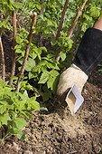 Dried blood fertiliser added to enrich soil around raspberry