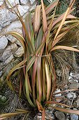 New Zealand flax tied in bunches to protect against winter
