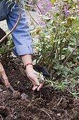 Gardener planting young spurge into perennial border