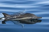Common dolphin surfing  Gulf of California