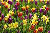 Massive variety of Tulips and Daffodills in bloom France