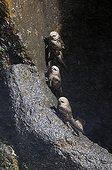 Great Dusky Swift on cliff Iguazu Argentina