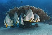 Circular Batfish in Egypt