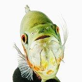 Portrait d'un Astronotus poisson d'eau douce tropicale