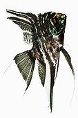 Black lace Freshwater Angelfish ; Scalaire Poisson carnivore des eaux douces tropicales