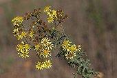 Yellowhead growing on wasteland France