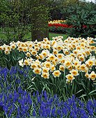 Armenian grape hyacinth and Narcissus in Netherlands