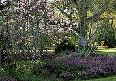 Magnolia et Bruyère dans un jardin du Loiret France ; Euodia, Magnolia, Bruyère, Arbres de la famille des hamamelidacées et Euphorbiacées dans un jardin du Loiret France