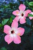 Hibiscus in bloom in a garden