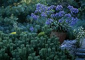 Pine and Agapanthus at Agapanthus Garden France ; Moutaine pine 'Mughus'.<br>Created: Alexander Thomas<br>