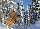 Siberian Jay flight winter Finland