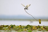 Whiskered Tern building its nest Grand Lieu Lake France