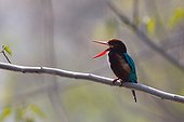 White-throated Kingfisher in the Bardia NP Nepal