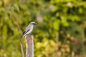 Large Cuckoo-shrike perched on a stake Bardia NP Nepal