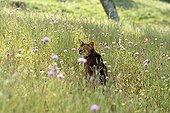 Abyssinian cat in a flowery meadow Cevennes France