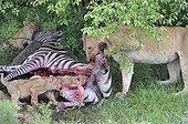 Lioness and Lion Cubs eating a Zebra Masai Mara Kenya