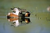 Black-necked grebe stretching Lake of Grand Lieu France