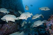 School of  Leather Bass Malpelo Island Colombia