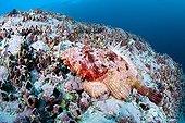 Stone Scorpionfish on reef Malpelo Columbia
