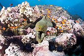 Green Moray Sea Urchins and Guadalupe Cardinalfish Malpelo