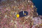 King Angelfish on reef Malpelo Columbia