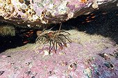Spiny painted Lobster on reef Malpelo Columbia