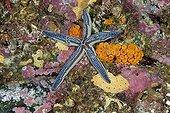Tan Sea Star on reef Malpelo Columbia
