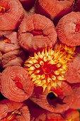 Orange Cup Corail Malpelo Columbia