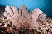 Red Sea fan Malpelo Columbia