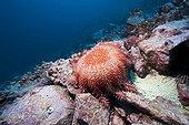 Crown-of-Thorns Starfish on reef Malpelo Columbia
