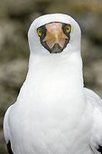 Portrait of Grant's Masked booby Malpelo Columbia