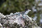 Lizard male on rock Malpelo Columbia