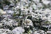 Lizard female on rock Malpelo Columbia