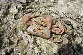 Land Crab mating on rock Malpelo Columbia