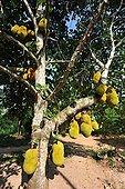 Breadfruit Zanzibar Tanzania