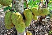 Fruits of the Breadfruit Zanzibar Tanzania