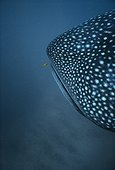 Whale Shark and Juvenile Golden Trevally West Australia