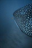 Requin baleine et jeune Carangue royale Australie