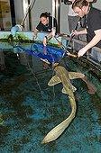 Stretcher training of  Zebra Shark in the healing tank