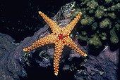 Red Mesh Starfish feeding on Coralline Algae Egypt